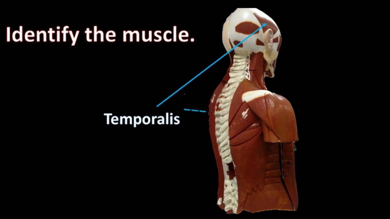 Muscle Anatomy practical review - YouTube