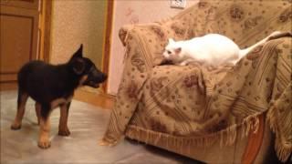 Щенок немецкой овчарки играет с кошкой