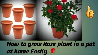🌹How to grow Rose plant in a pot at home Easily🌹