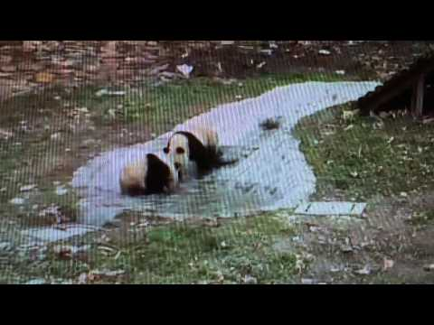 Wolong National Nature Reserve - Panda twins playing in the pool