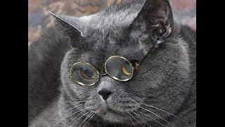 Харизматичные британские кошки, коты и котята. Котоматрица / British funny cat
