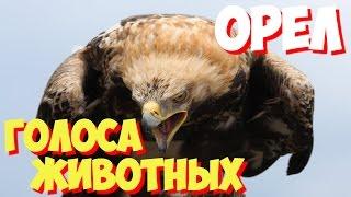 Голоса птиц и звуки животных. Звуки природы слушать онлайн ОРЕЛ