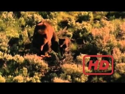 Documentary Bear Wyoming Wildlife TV #2--Wolves and Grizzly Bears