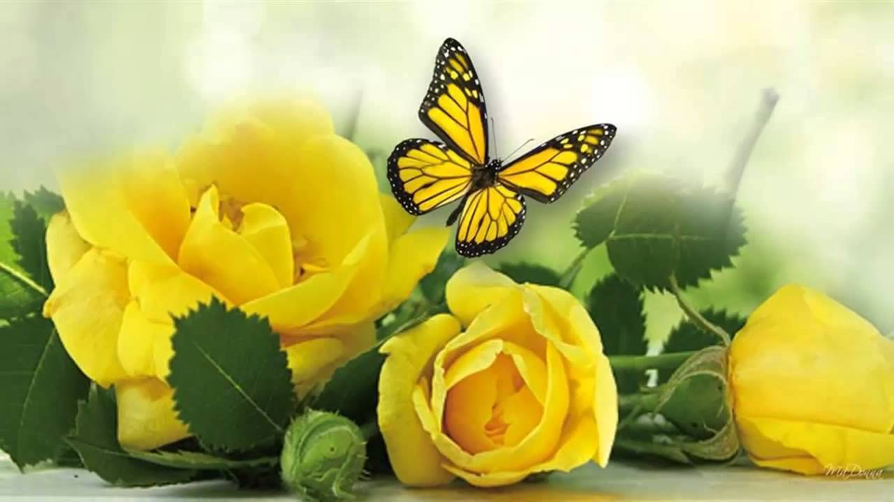Yellow roses music michel pepe youtube mightylinksfo