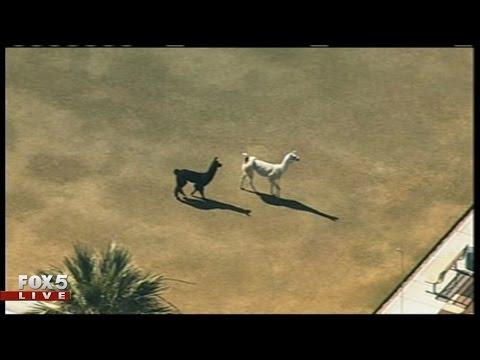 Llamas on the loose in Sun City, AZ