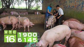 Khủng hoảng chăn nuôi lợn và trách nhiệm của Bộ NN&PTNT   VTC16