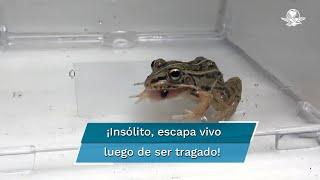 El científico Shinji Sugiura aseguró que este insecto pudo acelerar la excreción de la rana