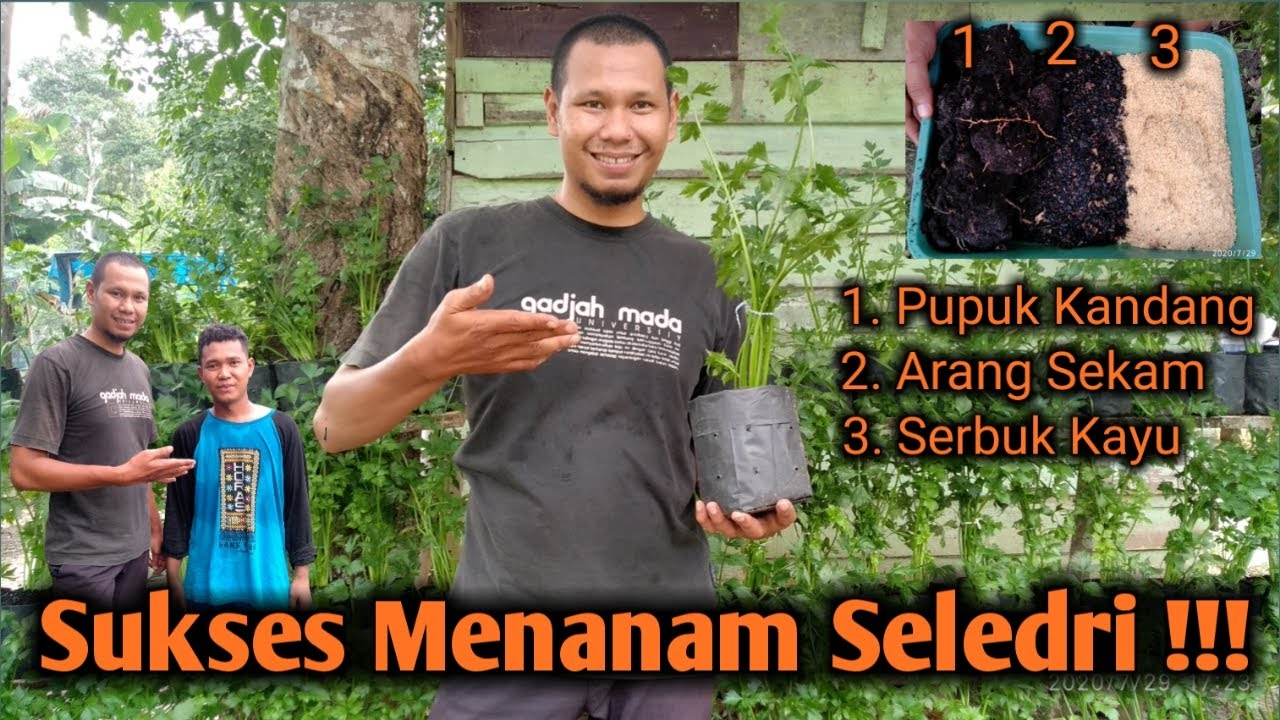 Ngulik Tips Dan Cara Menanam Seledri Anti Gagal Full HD