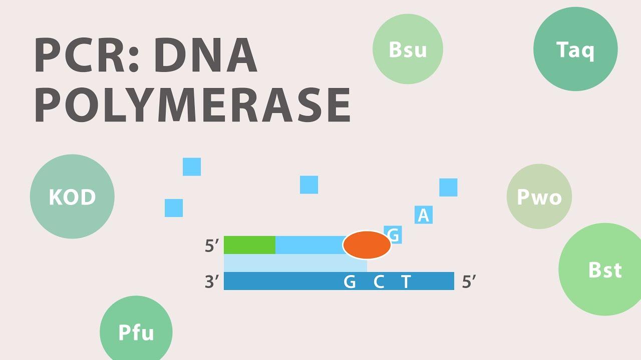 2 polymerase chain reaction pcr dna polymerase