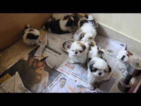 #Shih Tzu Pups Bookings Open 2020 April #Hormavu #Kalyannagar Post  #Bangalore 9916672339