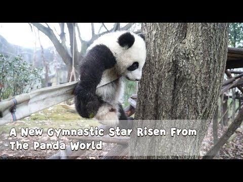 A New Gymnastic Star Risen From The Panda World | iPanda