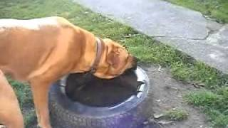 Bullmastiff Cross Rottweiler. Sammy Playing_xvid.avi