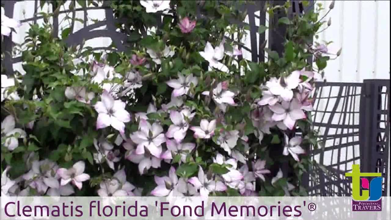 Clematite florida 39 fond memories 39 p pini res travers for Plantes grimpantes