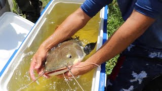 transporting-massive-catfish-to-my-aquarium