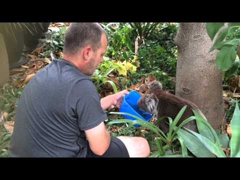 Thirsty wild koala welcomes a given drink.  And says thanks!