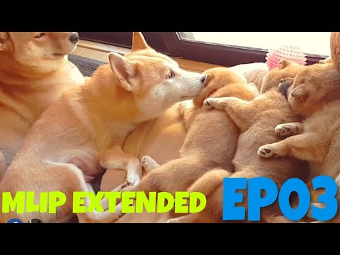 MLIP extended cuts - Ep 03 / Shiba Inu puppies