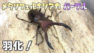 【美麗!】メタリフェルホソアカクワガタ ペレン亜種の羽化・掘り出し Cyclommatus metallifer finae 【Part2:パープル血統羽化・掘り出し編】