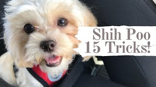 Shih Poo Puppy does 15 Tricks | With Funny Bloopers #shihpoo #shorts #smartdog