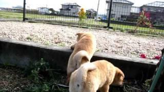 仲良く遊ぶ山陰柴犬の子犬姉妹.