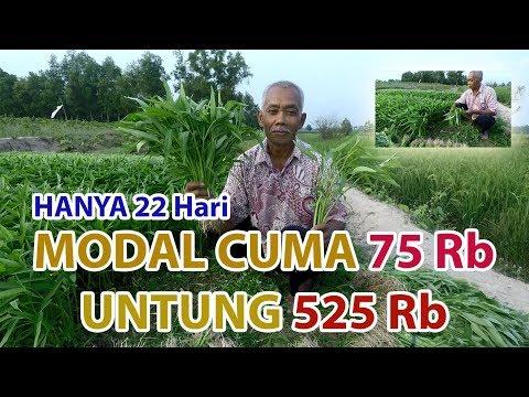 Kalkulasi Budidaya Kangkung #untungbesar
