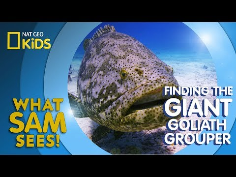 Finding the Giant Goliath Grouper | What Sam Sees