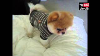 Boo Just Wake Up - The World's Cutest Dog #6