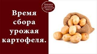 видео Когда выкапывать чеснок в Московской области