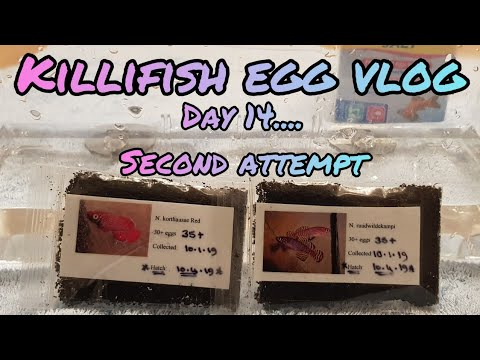 Killifish Egg Vlog: Day 14
