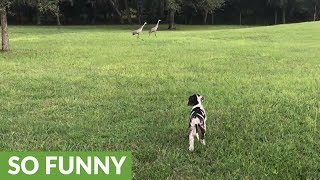 Great Dane puppy isn't sure about dancing sand hill cranes