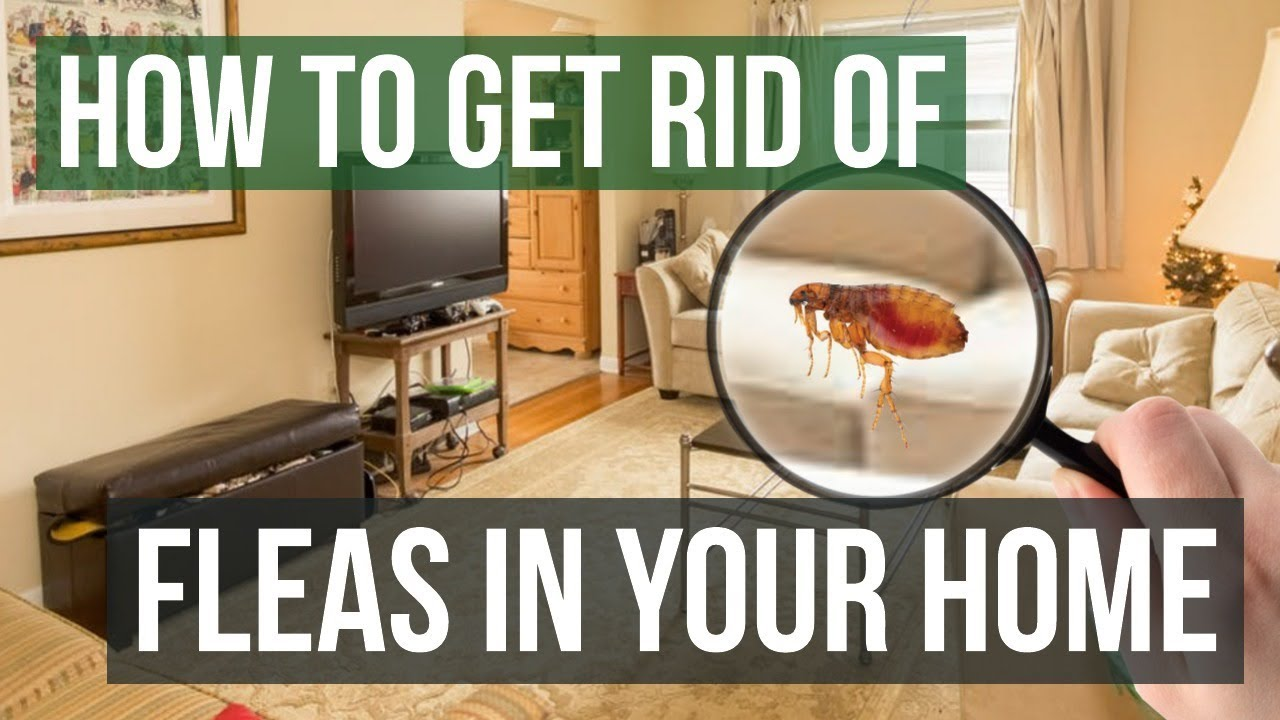 How To Get Rid Of Fleas In Your Home 3 Easy Steps Youtube