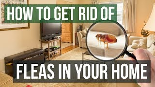 How to Get Rid of Fleas in Your Home (3 Easy Steps)