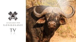 lions vs buffalo herd londolozi tv