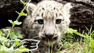 Snow Leopard Cubs!   The Cute Show