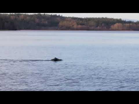 Wild Boar is swimming