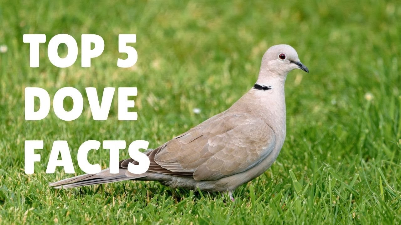 Dove Facts For Kids The Symbol Of Love Peace And Harmony Youtube
