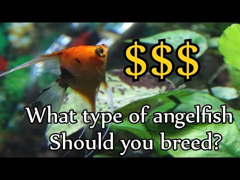 What Type Of Angelfish Should You Breed For Profit?