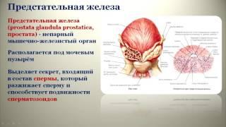 Мужские половые органы: топография, строение, кровоснабжение