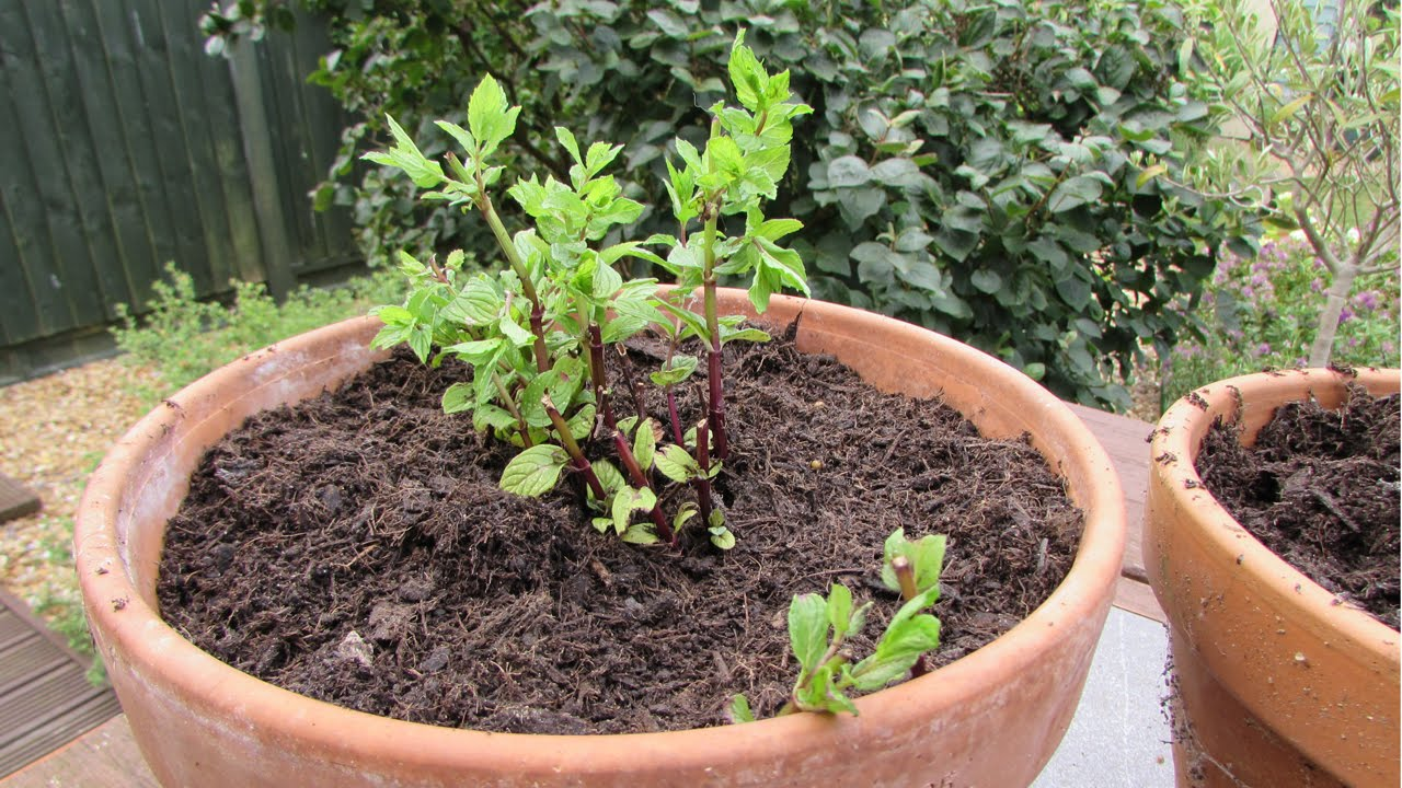 Re potting garden mint youtube re potting garden mint workwithnaturefo