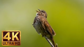 Bird song in 4k - trailer gorgeous a next nature relaxation footage uhd from http://www.proartinc.net and http://www.beautifulwashington.c...