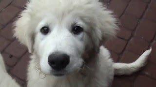 Щенки мареммо-абруцкая овчарка хотят играть  ( маремма).Pupies of maremma shipdog.