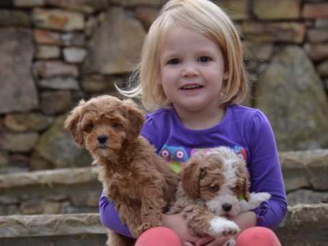 petite mini f1b multigenerational Goldendoodle puppies playing with our kids