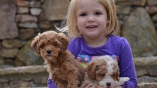 bestGoldendoodles.com mini f1b multigenerational Goldendoodle puppies playing with our kids