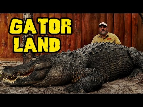 Rare GIANT Alligators at Gatorland Orlando zoo Jay is Living the dream