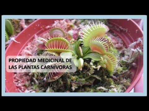 Las plantas carn voras y sus propiedades medicinales for Planta decorativa con propiedades medicinales