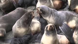Морские котики  на Камчатке