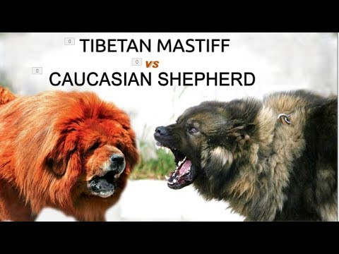 Tibetan mastiff Vs Caucasian shepherd (Breed Info and Comparison)