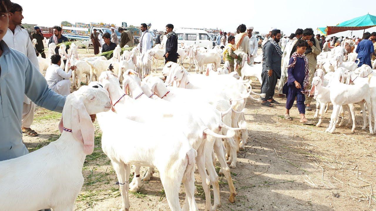 rajanpuri bakriyan 03496789033)(2019)(5)(20)(Mohammad Puri Bakre ka red  wali video Bakra Mandi Pakis