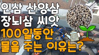 인삼씨앗 100일의 기다림 - 개갑과정(장뇌삼씨앗 산양…