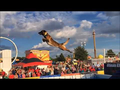 Belgian Malinois, Amazing Athlete!!!
