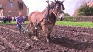 Belgian Draft Horses - horse plowing on ridges